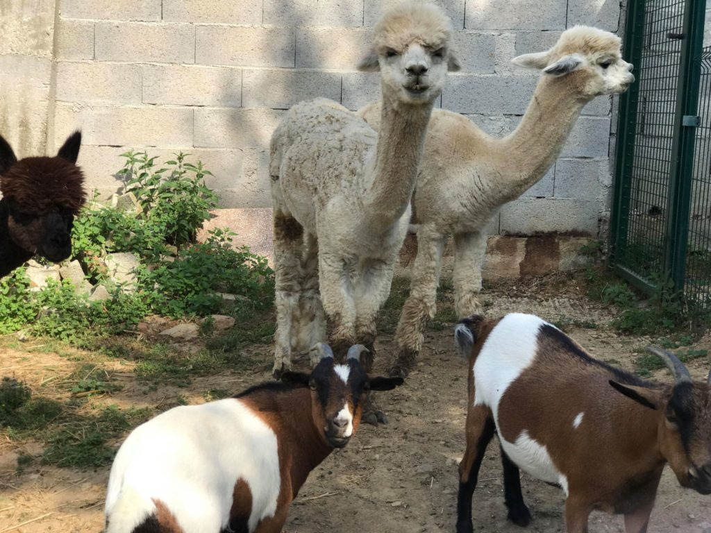 Photos of the alpacas and goats